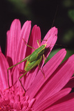USA  Oregon  Portland Fork-Tailed Bush Katydid on Gerbera Flower