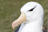 Black-Browed Albatross or Mollymawk  Portrait Falkland Islands