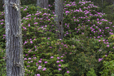 Rhododendrons Flowering in the Siuslaw NF Near Reedsport  Oregon  USA