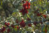 Close Up of Edible Berries North Dakota  USA