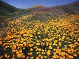 California  Lake Elsinore  California Poppys Cover the Hillside