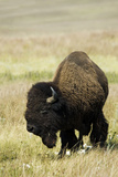 Portrait of American Bison Grazing in the Grasslands  North Dakota