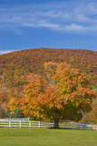 A Maple Tree in Fall at Castle in the Clouds  New Hampshire