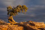 USA  Utah  Dead Horse Point State Park Sunrise on Juniper Tree