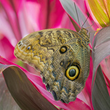 USA  Washington State  Seattle Close-up of Owl Butterfly