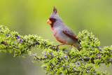 Pyrrhuloxia (Cardinalis Sinuatus) Male Perched