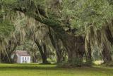 South Carolina  Ace Basin NWR Spanish Moss on Oak Trees