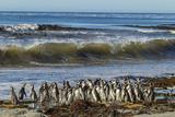 Falkland Islands  Sea Lion Island Magellanic Penguins and Surf