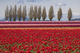 Washington  Mt Vernon  Tulips at the Skagit Valley Tulip Festival