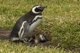 Falkland Islands  Sea Lion Island Magellanic Penguin and Chicks