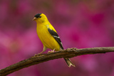 USA  North Carolina  Guilford County Close-up of American Goldfinch