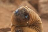 Ecuador, Galapagos National Park. Sea Lion Close-up Papier Photo par Cathy & Gordon Illg