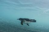 Galapagos Penguin (Spheniscus Mendiculus) Galapagos Islands  Ecuador