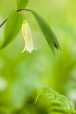 Sessile Bellwort in Forest  Durham  New Hampshire