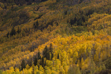 USA  Colorado  White River NF Aspen Trees in Peak Autumn Color