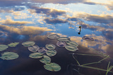 Water Lilies and Cloud Reflection on Lang Pond  Northern Forest  Maine