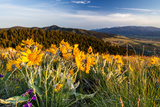 Balsam Root Flowers Above Missoula Valley  Missoula  Montana