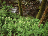 Tennessee  Great Smoky Mountains NP  Wildflowers Along a Stream