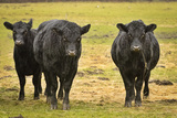 Skagit Valley  Washington State Cows in the Rain