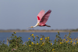 Roseate Spoonbill (Ajaia Ajaja) Flying around Nesting Colony