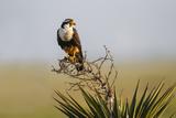 Aplomado Falcon (Falco Femoralis) Adult Landing on Yucca