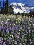 USA  Washington State  Paradise Park Field of Lupine and Bistort