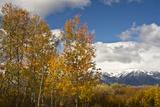 Autumn Trees  Willow Flats  Grand Teton National Park  Wyoming  USA