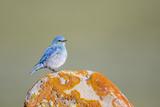 Wyoming  Sublette Co  Mountain Bluebird Sitting on Orange Lichen Rock