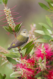 Tennessee Warbler (Vermivora Peregrina) Foraging for Insects