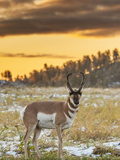 USA  South Dakota  Custer State Park Pronghorn Antelope at Sunrise