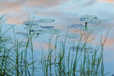 Water Lilies and Clouds  Lone Jack Pond  Northern Forest  Maine