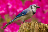 USA  North Carolina  Guilford County Close-up of Blue Jay