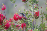 Orchard Oriole Male Feeding on Bottle Brush Flower Nectar