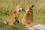 Red Fox Kits Playing