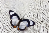 Hypolimnas Usambara Butterfly on Silver Pheasant Feather Pattern