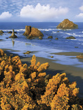 USA  Oregon  Bandon Face Rock and Wild Gorse Plants