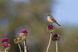 Vermilion Flycatcher (Pyrocephalus Rubinus) Male Perched