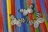 Paper Kite Tropical Butterfly on Macaw Tail Feather Design