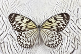 Paper Kite Butterfly on Silver Pheasant Feather Pattern