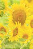 Large Field of Sunflowers Near Moses Lake  Washington State  USA