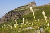 Montana  Glacier NP  Bear Grass Along Highline Trail