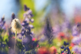 Alpine Wildflowers  Mt Rainier NP  Washington State  USA Summer