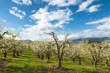 USA  Oregon Hood River  Valley Apple Orchard Near Hood River