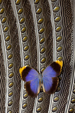 Owl Butterfly on Argus Wing Feathers
