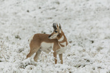 South Dakota  Custer SP Pronghorn Antelope in Snow-Covered Field