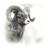 Shoshone NF  Wyoming Black and White Photo of a Big Horn Sheep