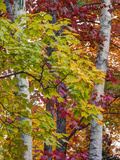 USA  Michigan  Upper Peninsula Autumn Colors of Maple Leaves