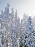 USA  Oregon  Mt Ashland Fresh Snow on Evergreens