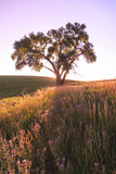 Oak Tree Near Field of Oxeye Daisies and Wheat  Palouse  Washington