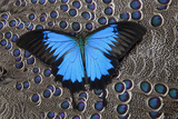Blue Mountain Butterfly on Grey Peacock Pheasant Feather Design
